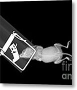 X-ray Of A Mouse Caught In A Trap Metal Print