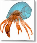 X-ray Of Hermit Crab Metal Print