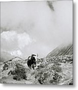 Yak In The Himalaya Metal Print