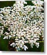 Yarrow Plant Flower Head  Metal Print