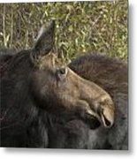 Yearling Calf On Alert Metal Print
