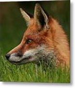 Yearling Fox Metal Print by Jacqui Collett