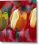 Yellow And Red Tulip Blooms Metal Print