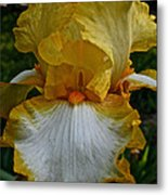 Yellow And White Iris Metal Print