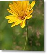 Yellow Aster Metal Print