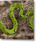 Yellow-blotched Palm Pitviper Metal Print