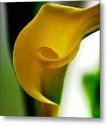Yellow Calla Lilies Metal Print