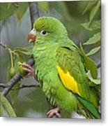 Yellow-chevroned Parakeet Brotogeris Metal Print