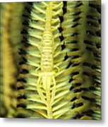 Yellow Commensal Shrimp On Crinoid Metal Print