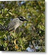 Yellow-crowned Night Heron Metal Print