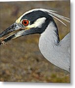 Yellow Crowned Night Heron With Catch Metal Print