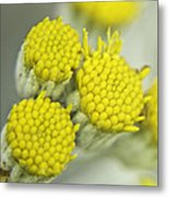 Yellow Cup Buds 1 Metal Print