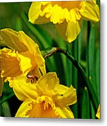 Yellow Daffodils And Honeybee Metal Print