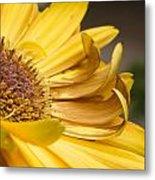 Yellow Daisey Closeup Metal Print