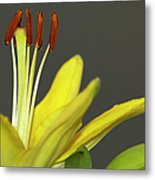 Yellow Day Lily Metal Print