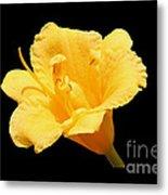 Yellow Day Lily On Black Metal Print