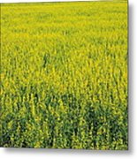 Yellow Field Of Canola Metal Print