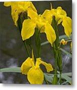 Yellow Flag Iris (iris Pseudacorus) Metal Print