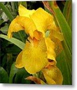 Yellow Iris Tasmania Australia Metal Print