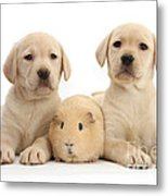 Yellow Labrador Retriever Pups Metal Print