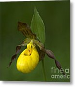 Yellow Lady's Slipper Metal Print