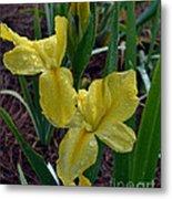 Yellow Louisiana Iris Metal Print
