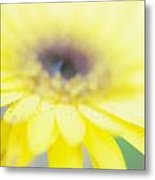Yellow Margarita Daisy Metal Print