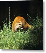 Yellow Mongoose Metal Print