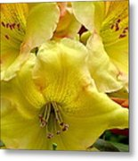 Yellow Rhododendron Trio Metal Print
