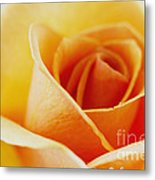 Yellow Rose After The Rain Metal Print