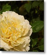 Yellow Rose Water Drops Metal Print