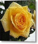 Yellow Roses With Water Droplets Metal Print
