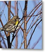Yellow-rumped Warbler - Placid Metal Print