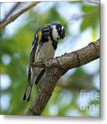 Yellow Rumped Warbler Looking Down Metal Print