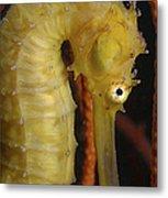 Yellow Seahorse, Batam, Riau, Indonesia Metal Print