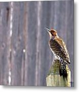 Yellow-shafted Flicker Posing Metal Print