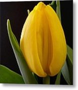 Yellow Tulip Metal Print