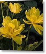 Yellow Tulips  Tulipes Jaune Metal Print