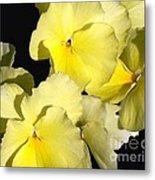 Yellow Violas Metal Print