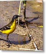 Yellow Wagtail Metal Print