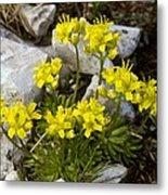 Yellow Whitlow-grass (draba Aizoides) Metal Print