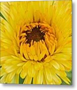 Yellow Zinnia 9494 4286 Metal Print