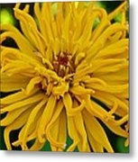 Yellow Zinnia_9480_4272 Metal Print