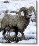 Yellowstone Big Horn Sheep Metal Print