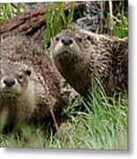 Yellowstone River Otters Metal Print