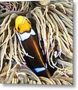 Yellowtail Anemonefish In Its Anemone Metal Print