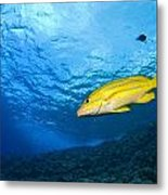 Yellowtail Snapper, Molokini Crater Metal Print