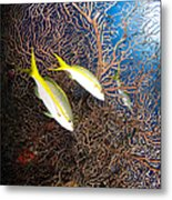 Yellowtail Snappers And Sea Fan, Belize Metal Print