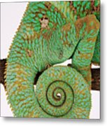 Yemen Chameleon, Close-up Of Coiled Tail Metal Print