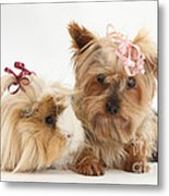 Yorkshire Terrier And Guinea Pig Metal Print